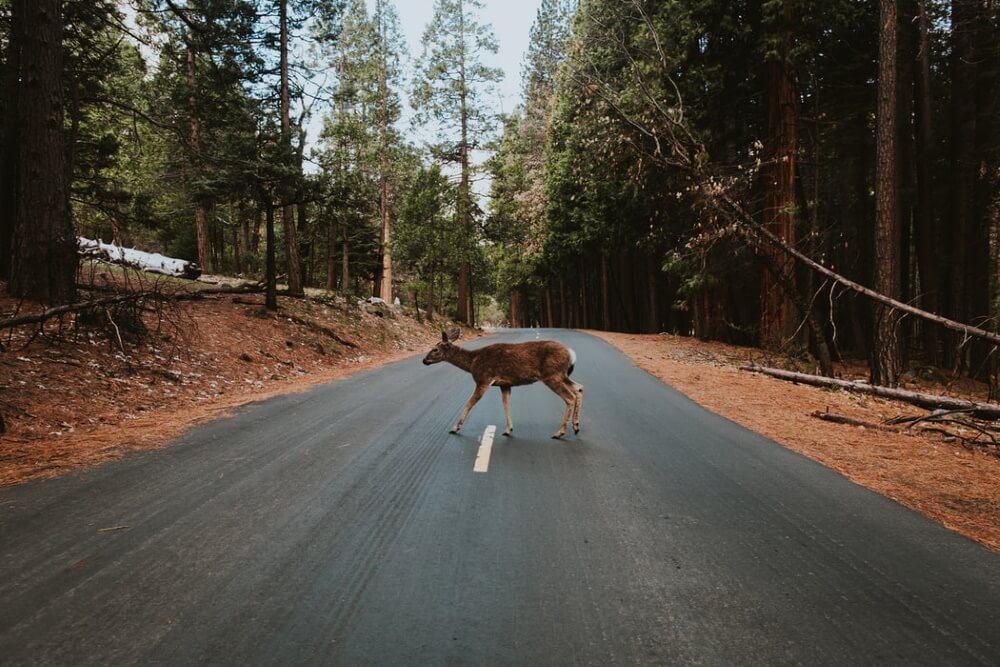 Im Herbst steigt die Gefahr durch Wildtierunfälle für Autofahrende wieder stark an.